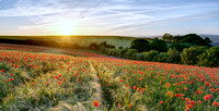 Sunset over poppy field.